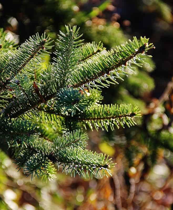 Fresh Pine Tree