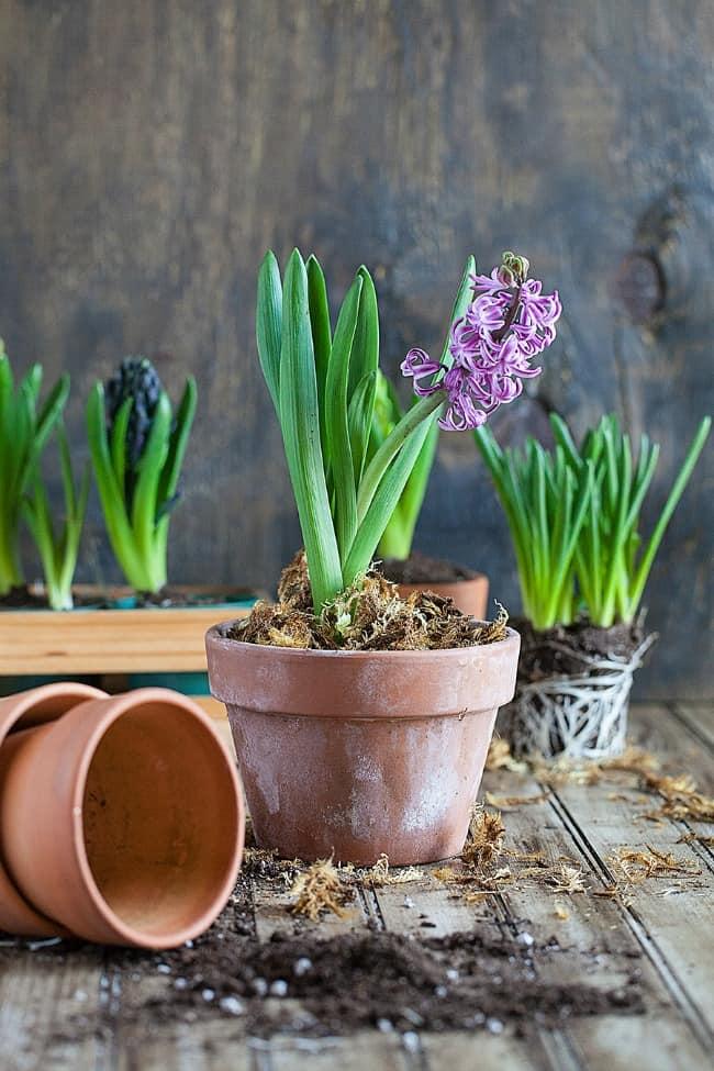 hyacinth-setting